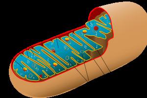 Hiểu Về ADN Ti Thể