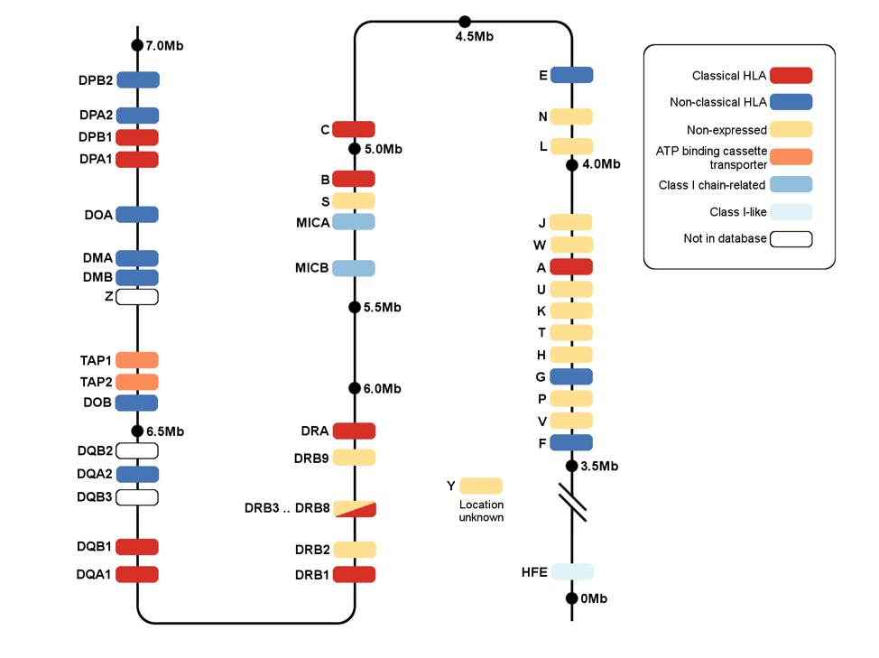 gen HLA, kháng nguyên HLA, xét nghiệm HLA, tương hợp HLA